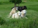 Ποιμενικά σκυλιά (Δ.Χ.Τέγου)